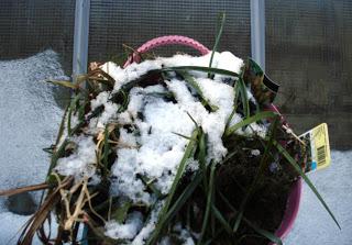 plant-under-snow