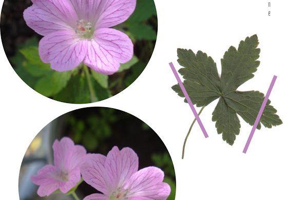 wild-geranium