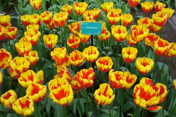 Holland queen tulips
