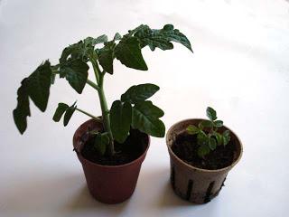 tomatos-plant-test