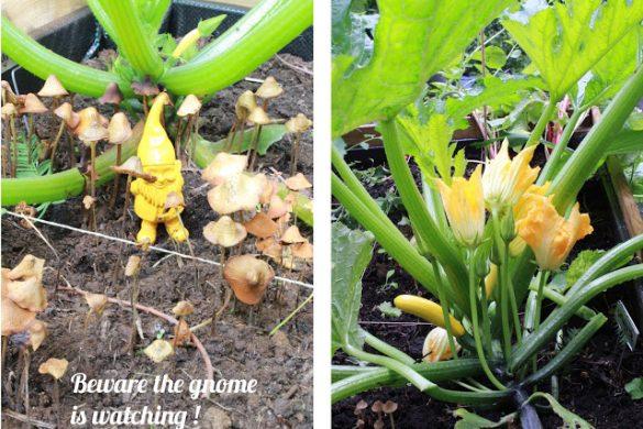 zuchinni-bloom