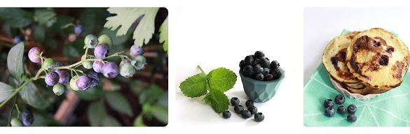 harvest-blueberries-bake-pancakes