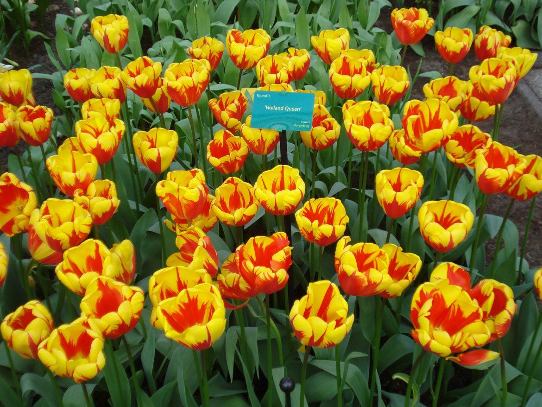 Holland queen tulips